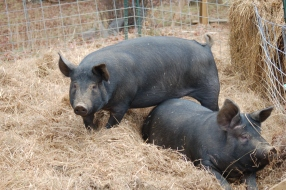 Agatha and Gertrude, a few days before slaughter.