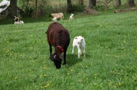 Helena and single ewe lamb.