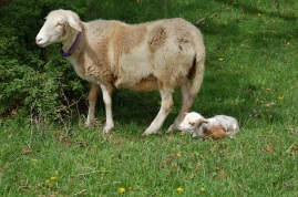 Cow and ram lamb.