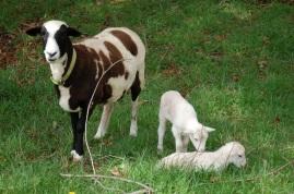 Dru and twin ram lambs.
