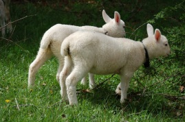 Bunny and Buttercup, Cheviot ewe bottle lambs.