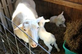 Darla and twin ram lambs.