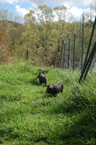 Guinea hog piglets.