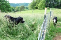 Cattle in tall grass.