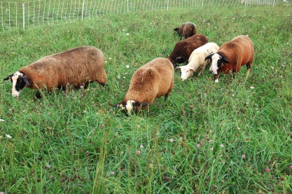 Sheep enjoying the rich forage.
