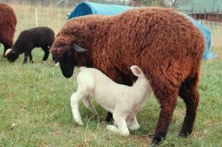 Mocha nursing her lamb.