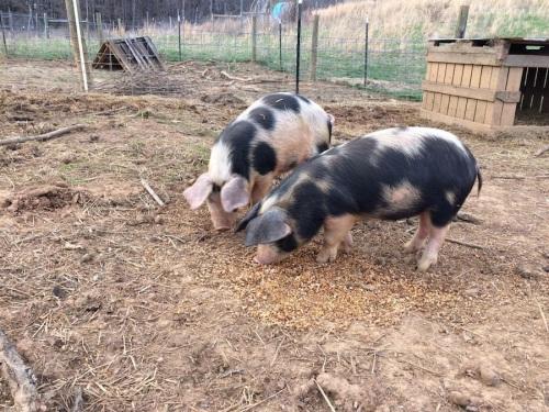 pigs copy