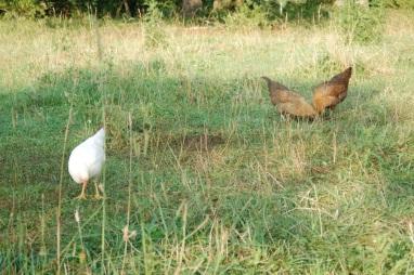 Poultry Jul 18
